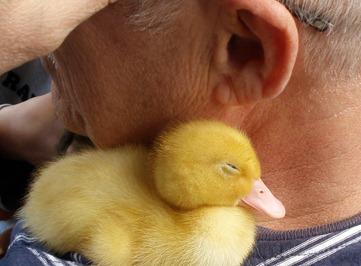 duck 8