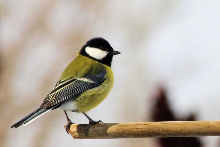 les oiseaux du jardin (fil ouvert) _MG_1529mod