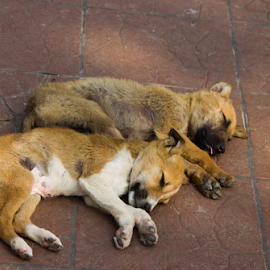 Its Sleeping time. by Pramesh Shrivastava - Animals - Dogs Puppies ( baby, young, animal )