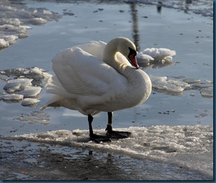 svane i drøbak på isflak