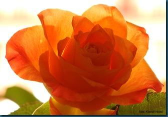 rose12 (2)