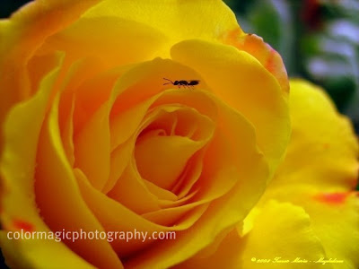 Yellow rose and an ant on it