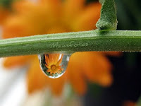 Marigold in raindrop