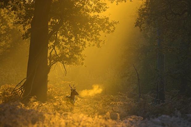 Fallow deer buck at dawn