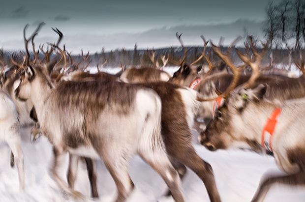 Reindeer -Lappland