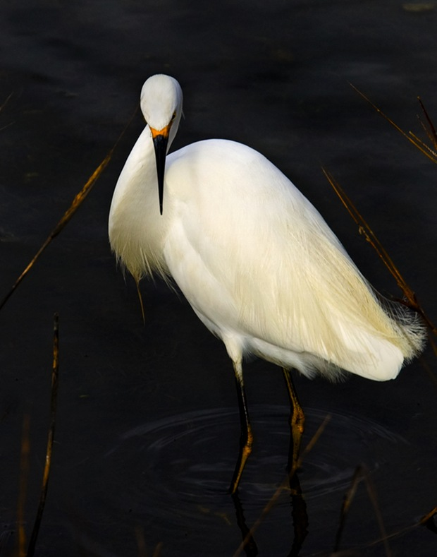 Snowy-Egret -Elegance