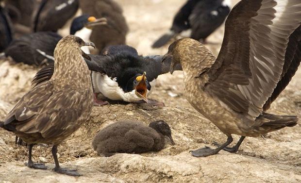 War of Skuas and King Shag at Falkland Island.