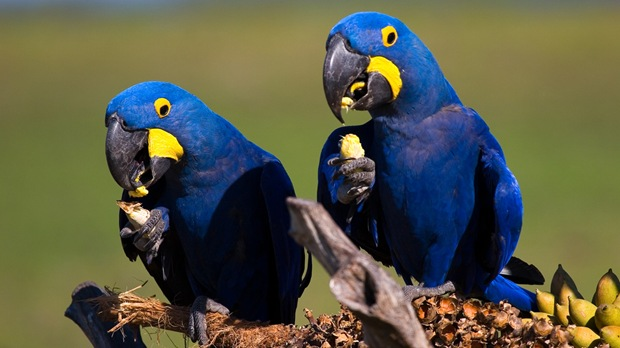 wildlife-photography-of-birds-araras-azuis