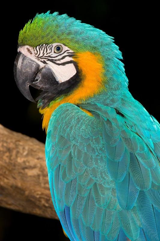 Birds-of-the-world-Arara-Caninde