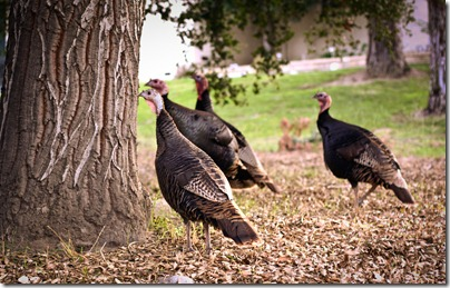 turkeys (1 of 1)