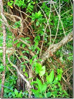 strangledtree