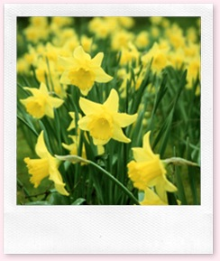 draft_lens2372454module13497671photo_1238813265daffodils