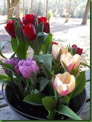feb tulips 001