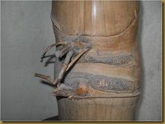Bambu antik tunas temu - bambu petuk antik