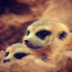 Group of Meerkats by Jackson Visser - Animals Other Mammals ( mongoose, fuzzy, meerkats, africa, cute, cuddle, group )