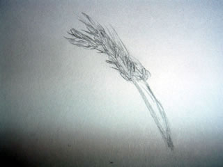 Sketch of stems of wheat
