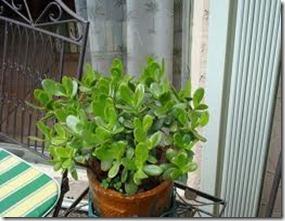 jade plant 2