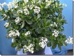 jade plant 4