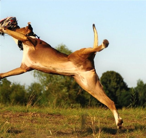 flying-dog-picture