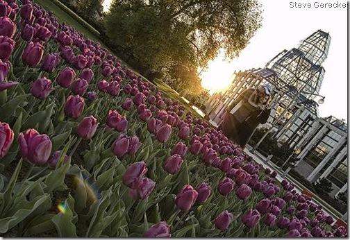 tulips steve gerecke 1