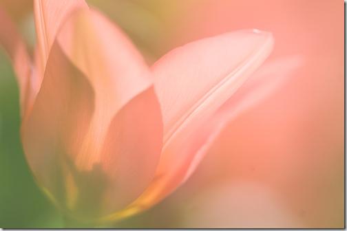 tulip artsy flickr