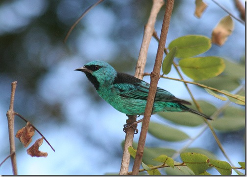 turquoise honeycreeper flickr