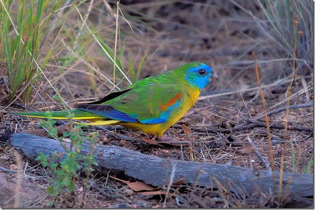 parrot flickr
