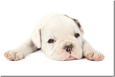 puppy Bull dog 2