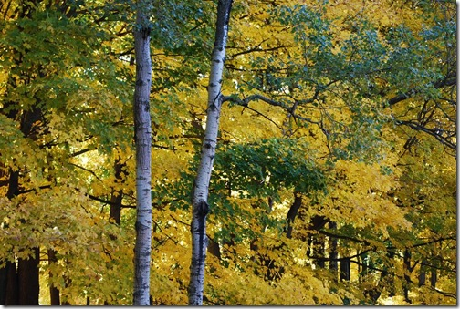 RS birch and yellow trees