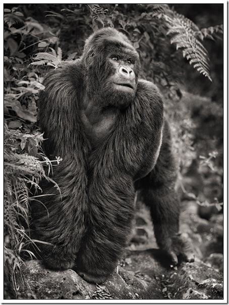 GorillaOnRock