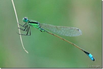 blue-green-damselfly dj ringer