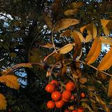 Sorbus aucuparia - Sorbier des oiseleurs