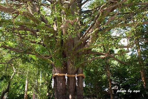 御神木のナギの木