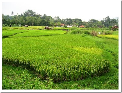 chiang-mai-paddy-fields