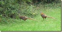 des faisans au lieu dit le Fief 02-10-2010 15-23-15