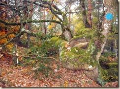Chêne hybride_arbre remarquable (1)