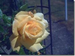 gelbe Schönheit, die eigentlich weiß sein sollte