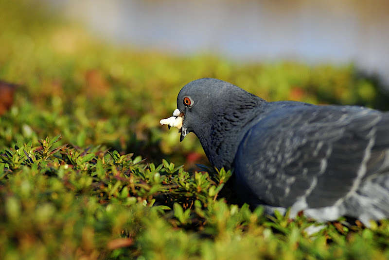 This pigeon was stuffing its face in this bush.