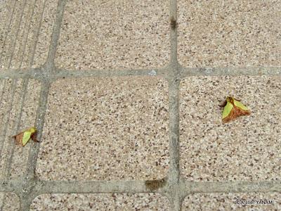 葉っぱみたいな虫
