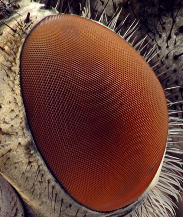عالم المجهريات 20-Incredible-Eye-Macros-fly4.jpg