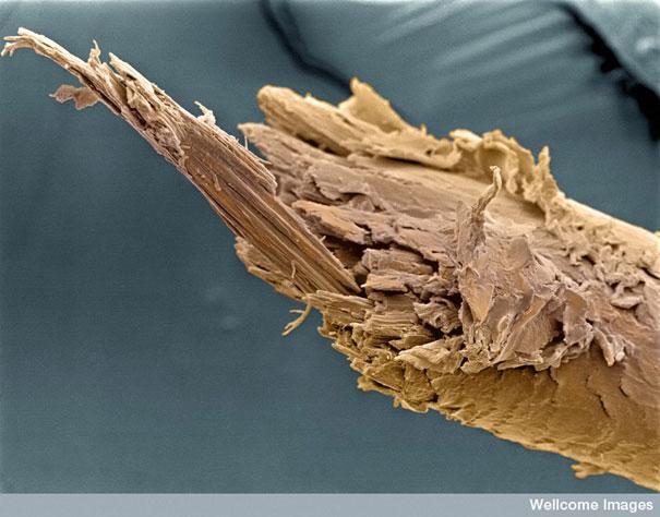 عالم المجهريات Looking-at-the-World-through-a-Microscope-split-human-hair.jpg