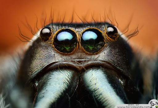 Jumping  Spider Most Beuatiful Spider In The World