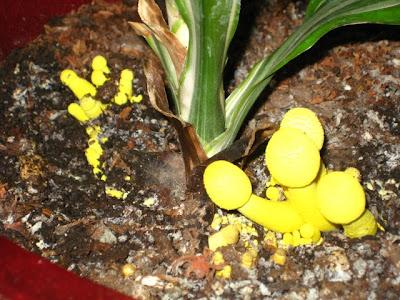 Warneckei - strange yellow fungus?