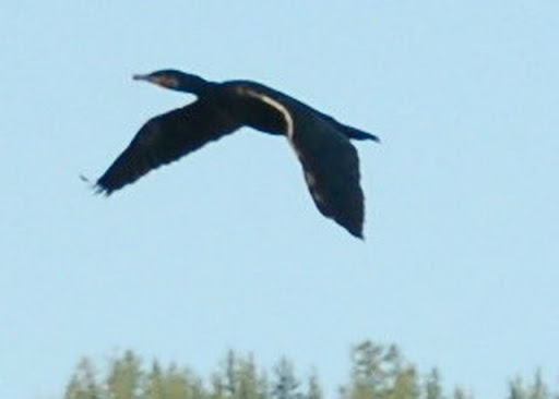 Phalacrocorax
