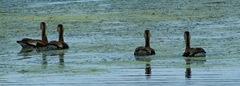 Whistling_Ducks_IMGP0141