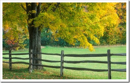 Sugar maple tree by a split-rail fence in rural Vermont, United States