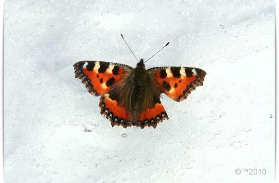 Sommerfugl i vinterland