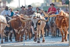 FW-Herd-Steers1