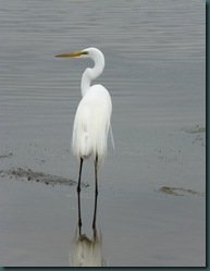 great egret ruffle (1)