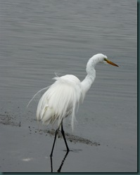 great egret ruffle